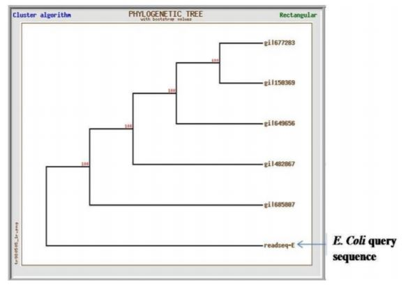Fig 4.1 Phylogenetic tree presenting the E. coli query sequence grouping with the reference sequences of E. coli isolates retrieved from the database.